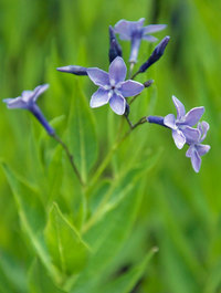 Amsonia-blue-ice1
