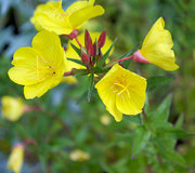 Oenothera fruticosa 'Fyrverkeri'
