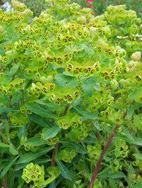 Euphorbia-martinii