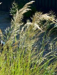 Achnatherum-calamagrostis4