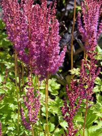 Astilbe-chinensis-purpurkerze