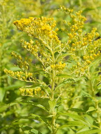 Solidago-goldenmosa