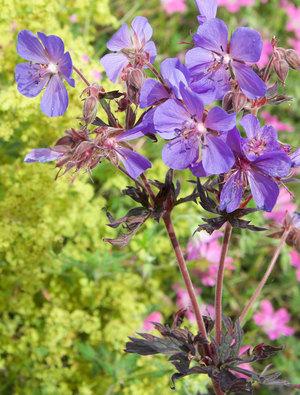 Geranium pratense 'Hocus Pocus'