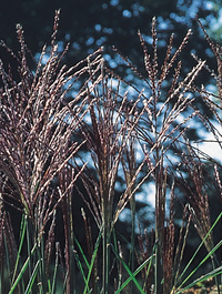 Miscanthus_nippon