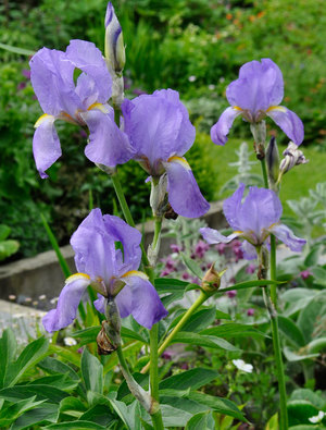 Iris 'Susan Bliss'