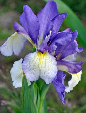 Iris 'Speeding Star'