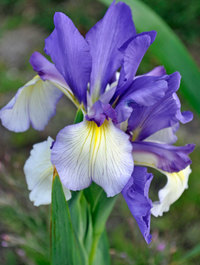 Iris 'Speeding Star'
