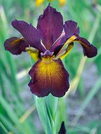 Iris-mahogany-lord