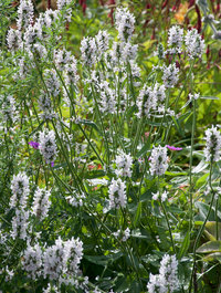 Stachys-officinalis-alba9