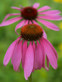 Echinacea purpurea 'Rubinstern'
