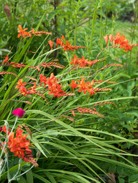 Crocosmia-zeal-tan4