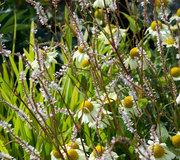 Persicaria amplexicaulis 'White Eastfield'