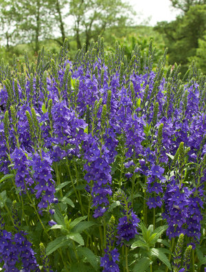 Veronica austriaca 'Crater Lake Blue'