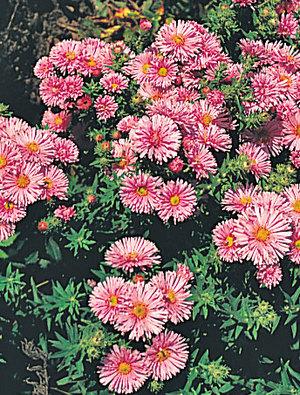 Aster novae-anglaea 'Barr's Pink'