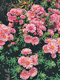 Aster-barrs-pink