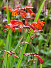 Crocosmia-babylon1