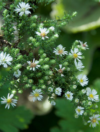 Aster ericoides var. prostratum 'Snow Flurry'