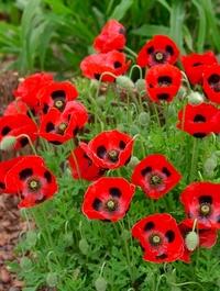 Poppy_ladybird