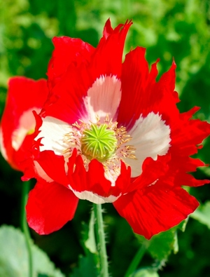 Papaver Victoria Cross