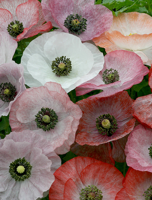 Papaver Mother of Pearl