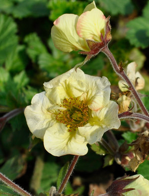 Geum 'Primrose Cottage'