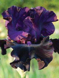 Iris 'Badlands'
