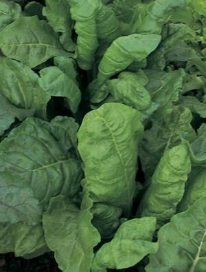 Leaf Beet Perpetual Spinach