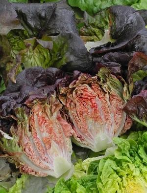 Lettuce Intred (Gem)