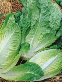 Lettuce Winter Density