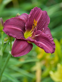 Hemerocallis-little-grapette2