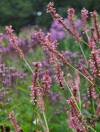 Persicaria-october-pink