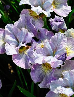 Iris 'Careless Sally'