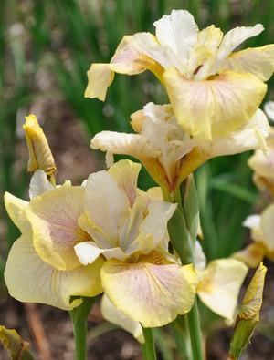 Iris 'Sarah Tiffney'