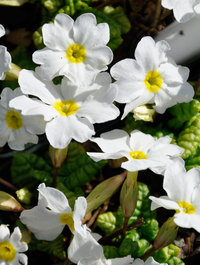 Primula-snow-cushion