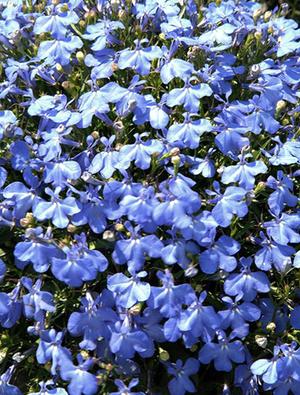 Lobelia Cambridge Blue