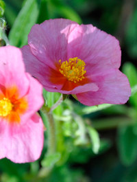 Helianthemum-lawrenson-pink