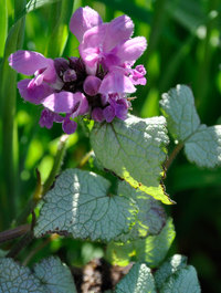 Lamium-red-nancy