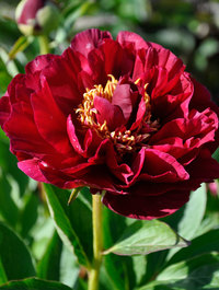 Peony-old-faithful
