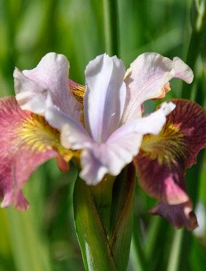 Iris 'Sugar Rush'