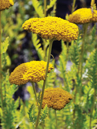 Achillea-coronation-gold