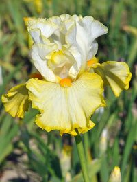 Iris 'Better Than Butter'