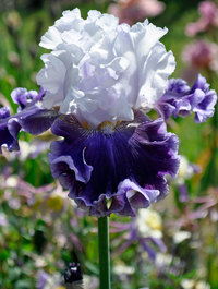 Iris 'Feel The Thunder'