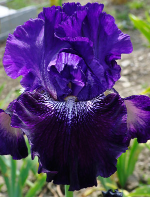 Iris 'Fiddlin' Around'