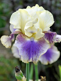 Iris 'On Deck'