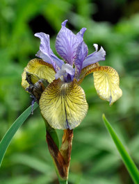 Iris sibirica 'Tipped in Blue'