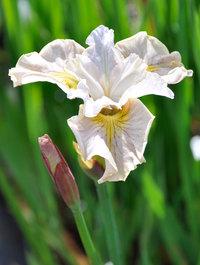 Iris 'Lemon Veil'