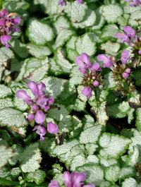Lamium-red-nancy3