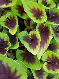 Viola-heartthrob1