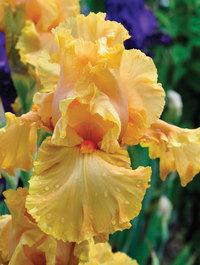 Iris 'Cordoba'
