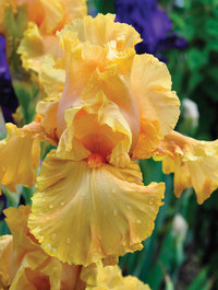 Iris-cordaba
